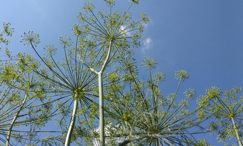 Dill flower heads against blue sky
