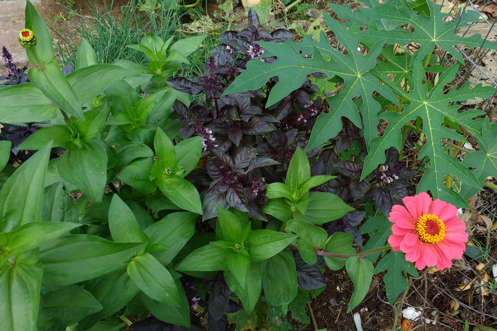 Purple basil in garden among other plants