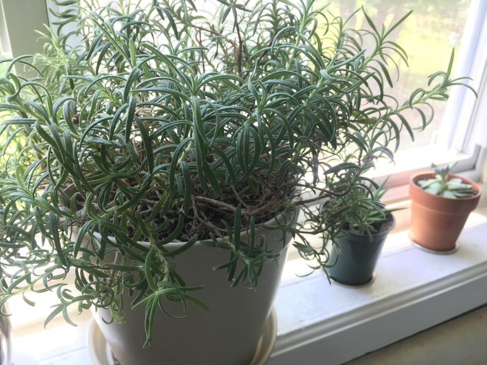 rosemary in pot on kitchen windowsill