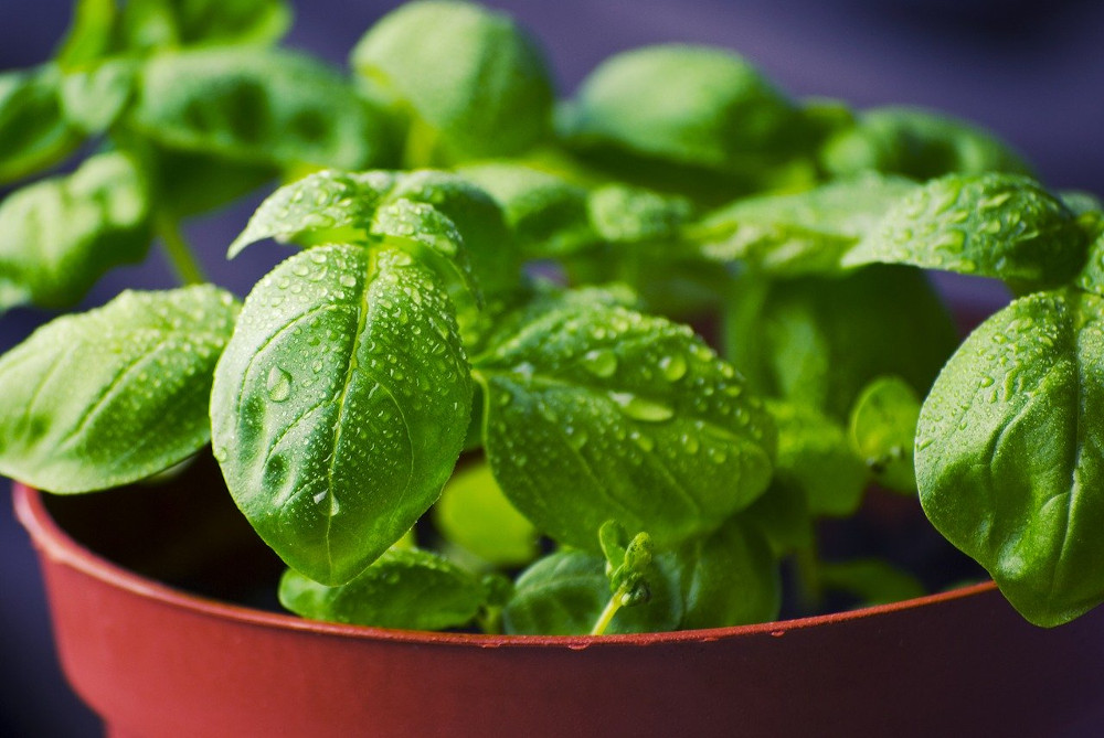young basil in a pot