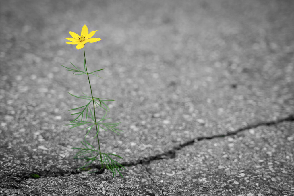 flower growing out of pavement, responding to suffering with hope and purpose
